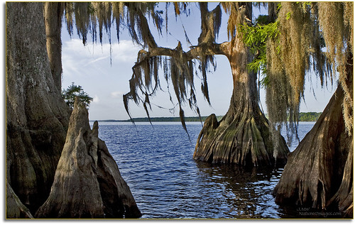 professionalphotographer waterscapes 2470mm oldflorida baldcypresstrees floridaimages detailstudies photoworkshops phototours bluecypresslake phototourguide jmwnaturesimagescom