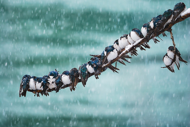 Seemingly Surreal Swallows in a Spring Snowstorm - Beautiful Bokeh Photography