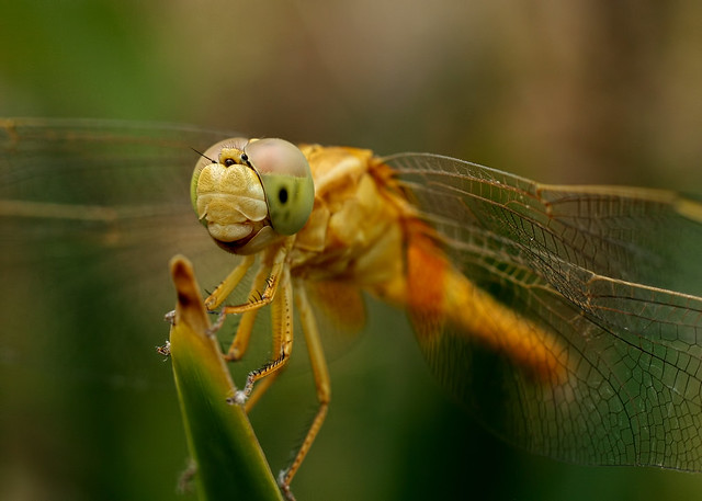 Dragonfly [Canon 1000D XS REBEL] [Canon 50mm F1.8II][Kenko Extension tube]