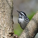 Male Black and White Warbler - Magee Marsh-2011 by VonShawn
