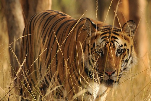 Tiger - Bandhavgarh, India
