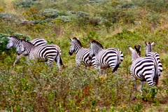adventure(0.0), savanna(0.0), animal(1.0), prairie(1.0), zebra(1.0), mammal(1.0), herd(1.0), fauna(1.0), grassland(1.0), safari(1.0), wildlife(1.0),