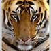 Tiger Portrait #TimesPassionTrails by Neil (@junglekamangal)