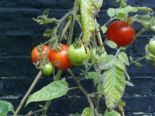 Tomatoes that never were