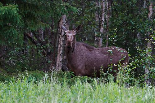 Moose - Elk - Älg
