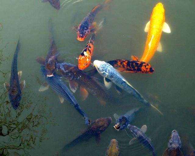 Fish species japanese pond brooklyn botanic garden new for Garden pond fish species