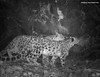 Two snow leopards at night