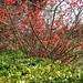 Red Blossoms (شکوفههای قرمز)