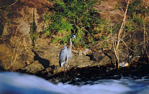 heron crane greatblueheron chattahoochee