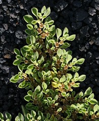shrub(0.0), flower(0.0), berberis(0.0), produce(0.0), fruit(0.0), food(0.0), bay laurel(0.0), lingonberry(0.0), evergreen(1.0), plant(1.0), arctostaphylos uva-ursi(1.0), flora(1.0),