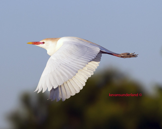 Cattle Egret In Breeding Plumage In Flight Wakodahatchee Wetlands
