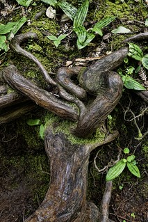 Intertwining Redwood Roots
