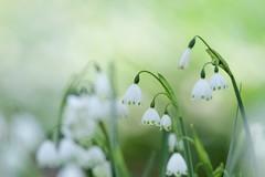 [フリー画像素材] 花・植物, スノーフレーク ID:201212130600