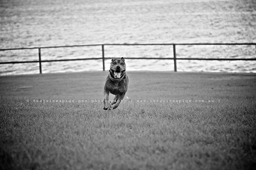 Speedy Zac by twoguinepaigs pet photography