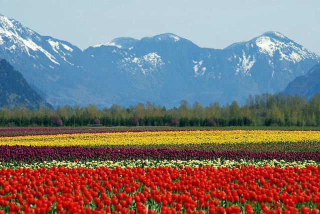 Spectacular Fraser Valley Tulips Flickr Photo Sharing