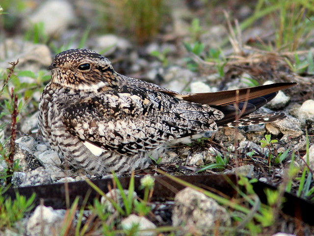 Common Nighthawk 20110420
