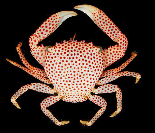 Coral crab (Trapezia tigrina), Guam