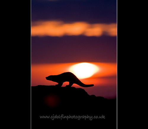 Otter at Sunset, Grimsay, North Uist