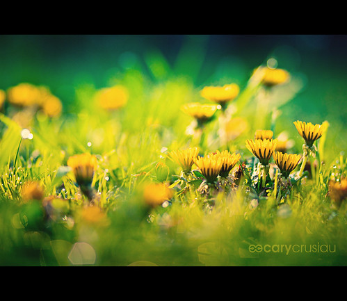 flowers blur nature colors canon flickr colours dof bokeh 85mm dandelions canonef85mmf18usm