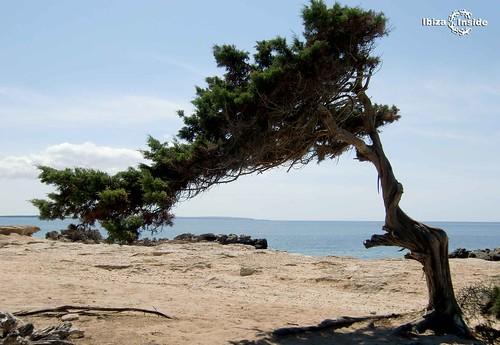 Tree-Ibiza-2