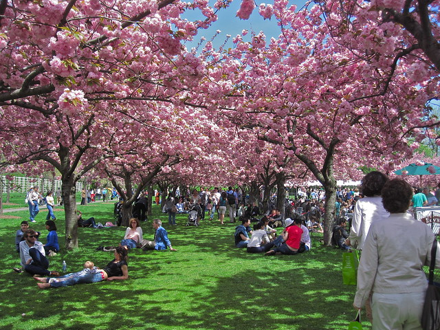 Visitors enjoy the shade and blossoms of cherry trees along Cherry Esplanade. Photo by Rebecca Bullene.