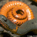Ringneck Snake - Photo (c) Todd Pierson, some rights reserved (CC BY-NC-SA)