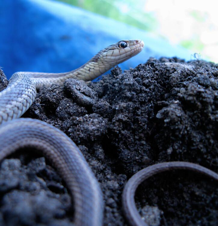 Common Garter Snake, Thamnophis sirtalis