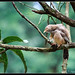 Jungle Babbler, Turdoides striata