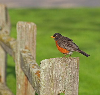 Happy Fenced Friday Robin on a Post Edition