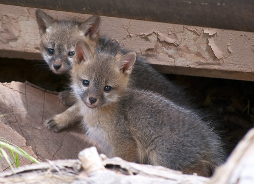 Gray Fox Kits In Early Summer Gray Fox Urocyon