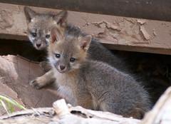raccoon(0.0), grey fox(0.0), fox(0.0), red fox(0.0), kit fox(0.0), wildlife(0.0), animal(1.0), mammal(1.0), fauna(1.0), viverridae(1.0), procyonidae(1.0),