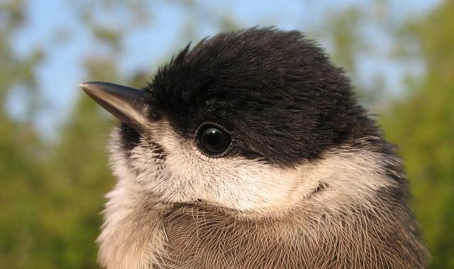 Juvenile Marsh Tit