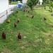 Happy Chickens! by mizidymizark