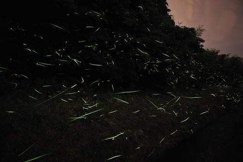 ホタル 蛍 firefly