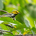 Fall Black-throated Green Warbler