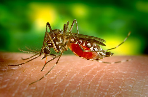 Aedes_aegypti_bloodfeeding_CDC_Gathany