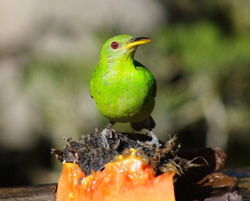 Female Green Honeycreeper (Chlorophanes spiza)