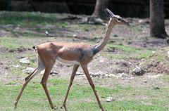 Skinny Deer