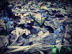 Albastru de primavara