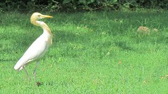 Bubulcus ibis (Cattle egret; Family: Ardeidae; Order: Ciconiiformes)
