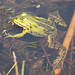 Pelophylax - Photo (c) Bart, all rights reserved