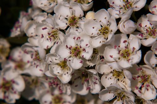 Hawthorn flowering