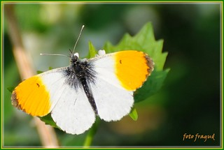 Aurorafalter - Orange Tip