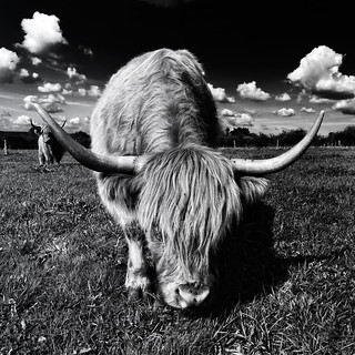 out of my way!!!! (Scottish Highland Cattle)