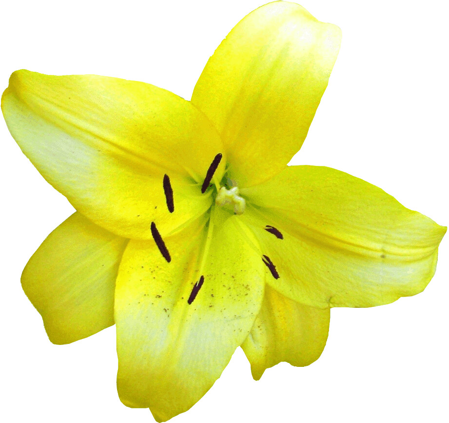 yellow lilium flower clipart, lge 13 cm