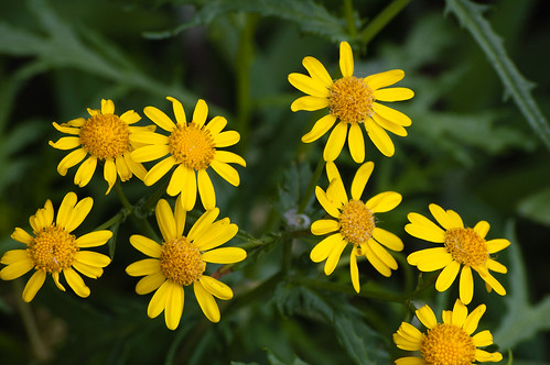 Ragwort flowering