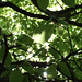 270411-beech-leaves