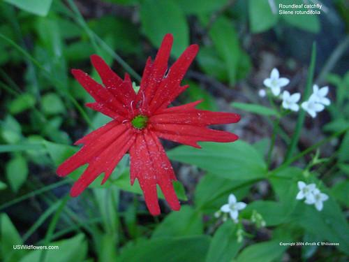 Roundleaf Catchfly - Silene rotundifolia
