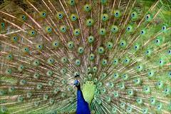 peacock open