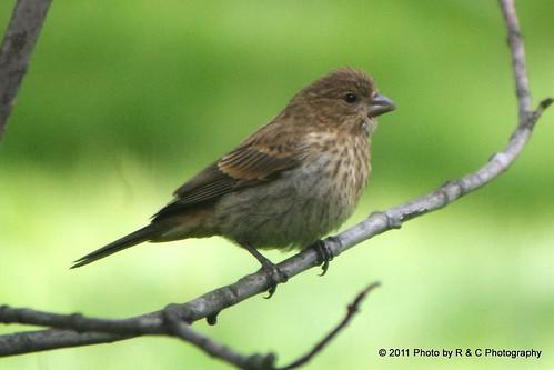 goldenfinfinchbirdssongbirdsch